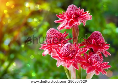 beautiful tropical red ginger flower - stock photo