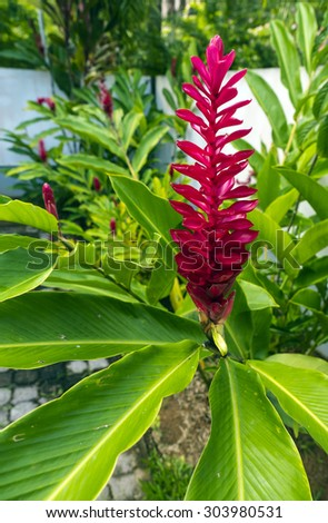 Beautiful tropical red ginger flower ,close up with foliage - stock photo