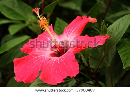 Beautiful tropical red hibiscus in its environment - stock photo