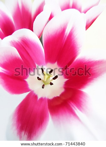 beautiful tulip background - stock photo