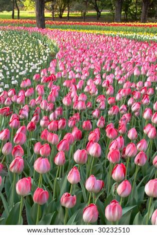 Beautiful tulip bud on flowerbed - stock photo