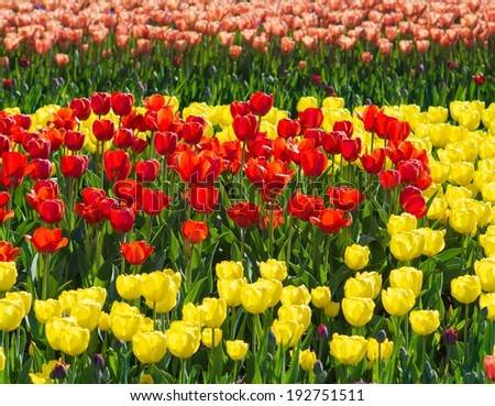 Beautiful tulip field