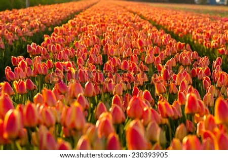 Beautiful tulip field at sunset