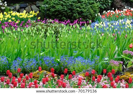 beautiful tulip field in butchart gardens, vancouver island, british columbia, canada - stock photo