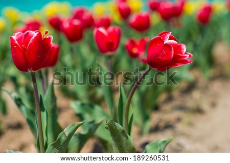 Beautiful Tulip Field in Spring Time