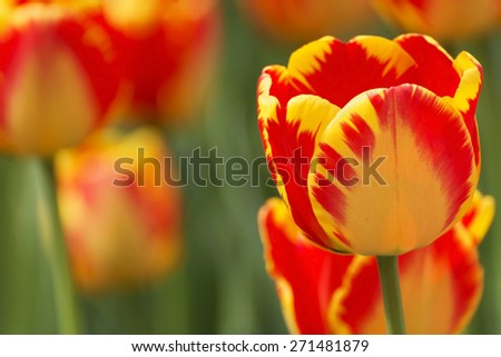 Beautiful tulip in spring time - stock photo