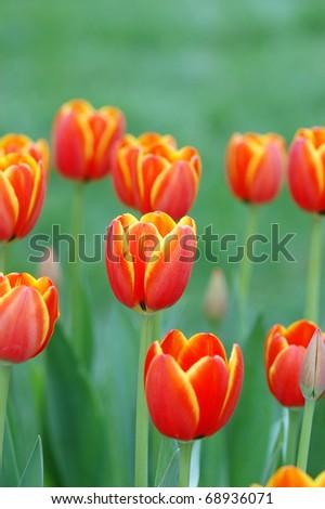 Beautiful tulip in the garden/Tulip field - stock photo