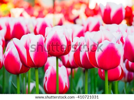beautiful tulips at Keukenhof garden, Natherlands - stock photo