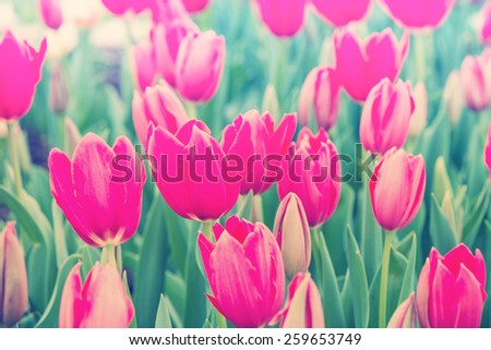 Beautiful tulips blooming in spring garden with blurred background, vintage filtered effect - stock photo
