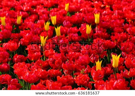 Beautiful tulips colorful fragrant spring flowers stock photo beautiful tulips colorful fragrant spring flowers soft focus mightylinksfo