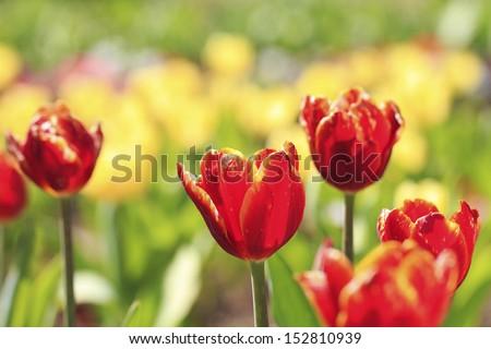 Beautiful tulips field - stock photo