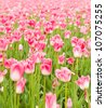 beautiful tulips field in spring time - stock photo