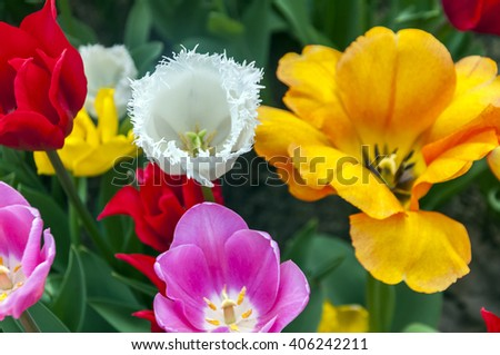 Beautiful tulips, fresh spring flowers, flowerbed