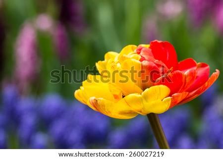 beautiful tulips in Keukenhof park in Netherlands - stock photo