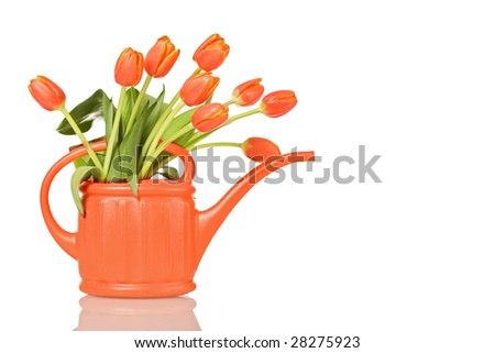 Beautiful tulips in orange watering can - isolated with reflection - stock photo