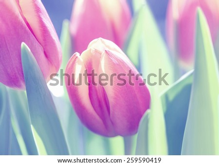 Beautiful tulips in soft colors and edges, adjusted with color filter. Blurry flower background. - stock photo