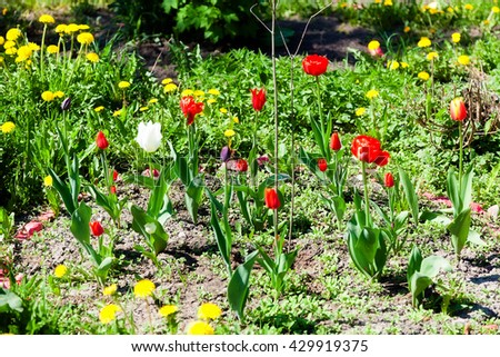 Beautiful tulips in the spring