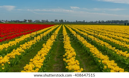 Beautiful tulips in the spring. Variety of spring flowers blooming on fields. Bright colors of natural flowers. Multi-colored field of tulips. - stock photo