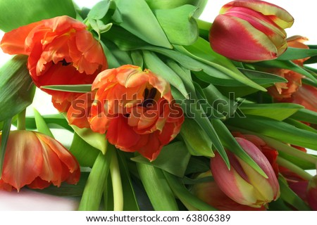 beautiful tulips on a white background