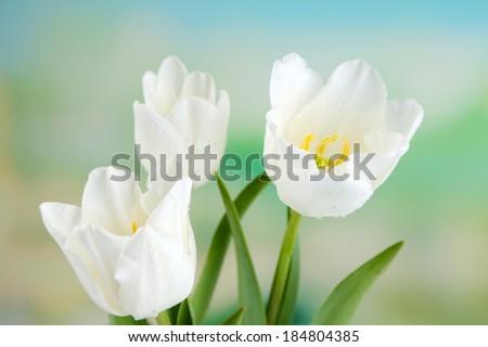 Beautiful tulips on bright background - stock photo