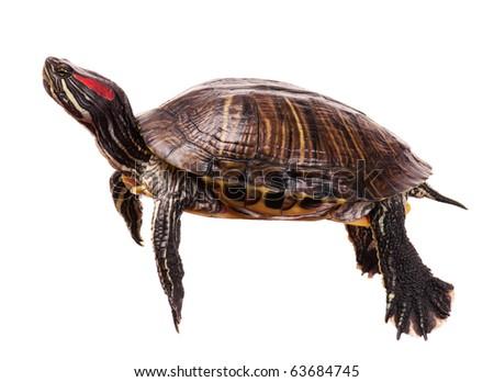 Beautiful turtle isolated on white background - stock photo
