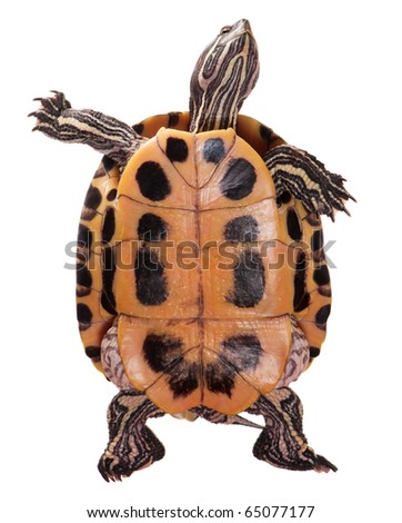 Beautiful turtle isolated on white background - stock photo