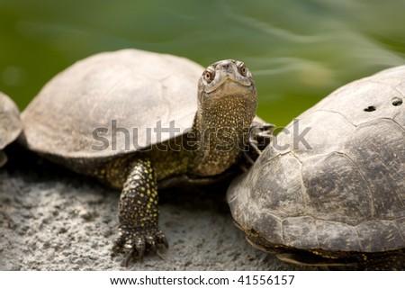 Beautiful turtle on the stone - stock photo