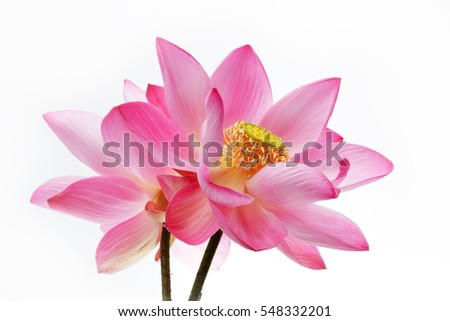beautiful twin lotus flower isolated on white background.