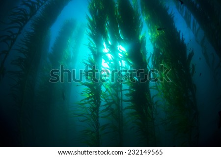 Beautiful underwater kelp forest in clear water shows the sun rays penetrating the giant plants. - stock photo