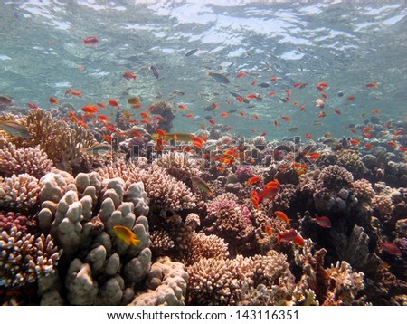 Beautiful underwater landscape with lots of soft and hard corals, in shallow white lagoon at the Red sea, Dahab, Egypt
