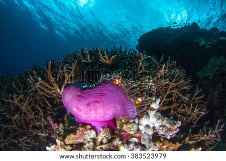 Beautiful underwater view with the the pink anemone coral and anemone fishes (Nemo fish) at shallow water at the evening. Nusa Penida, Indonesia.  - stock photo