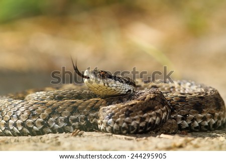 beautiful venomous european snake, meadow viper ( Vipera ursinii rakosiensis ), probably the most elusive from Europe - stock photo