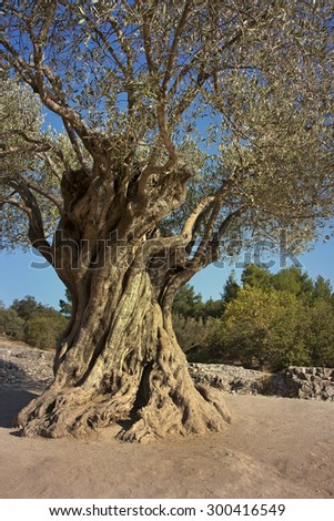 Beautiful very old olive tree - stock photo