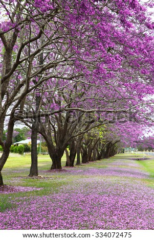 beautiful vibrant jacaranda trees in full bloom with pink flowers - stock photo
