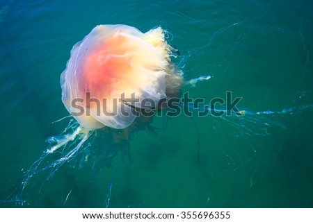 Beautiful vibrant picture of a floating jellyfish in atlantic ocean, norwegian sea also known as lionâ??s mane jellyfish, arctic jellyfish, a giant medusa - stock photo