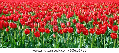 Beautiful vibrant red tulips in field - stock photo