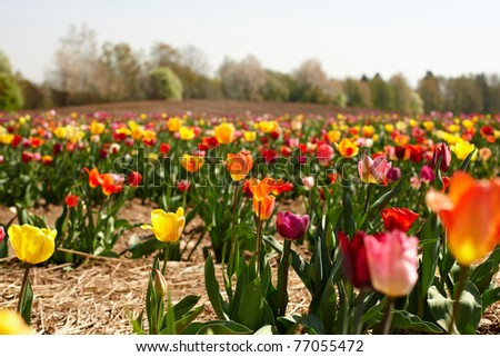 beautiful vibrant tulip field in springtime