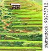 Beautiful view of a paddy rice fields - stock photo