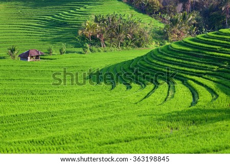 Beautiful view of Balinese green rice growing on tropical field terraces. Best scenic Asian backgrounds and landscapes, people culture and nature of Bali and Java islands, travel places in Indonesia - stock photo