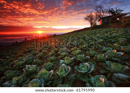 Beautiful view of Cabbage plantation at sunrise - stock photo
