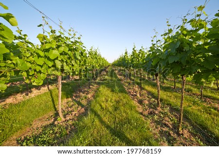 Beautiful view of the vineyard in spring sunny day - stock photo