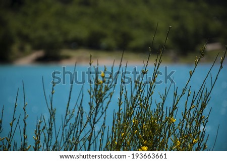 Beautiful view through the blooming Yellow Spanish Broom bush on the St.Croix lake in Verdon. (Provence, France)    Selective focus. - stock photo