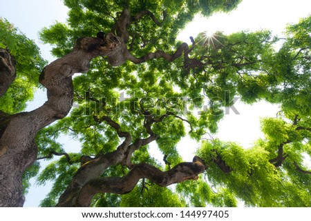Beautiful, view up into the canopy of a very large, impressive, majestic elm tree. Long, twisted, gnarled branches reach up into the sky to present the gentle clusters of the green leaves. - stock photo