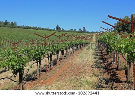 Beautiful vineyard in California - stock photo