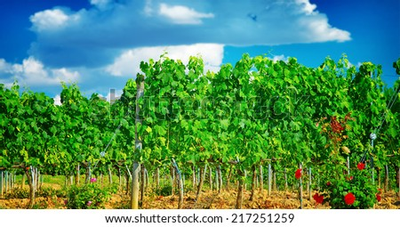 Beautiful vineyard in Europe, sunny day, Italian agricultural field, fresh green grape leaves, tasty sweet fruits, wine production concept - stock photo