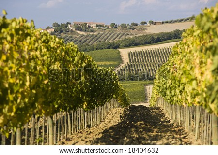 Beautiful vineyard in Italy at sunset... - stock photo