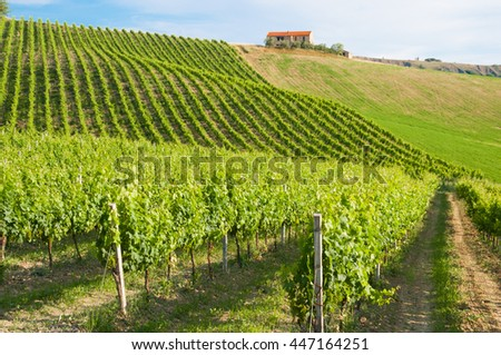 Beautiful vineyard in sunlight