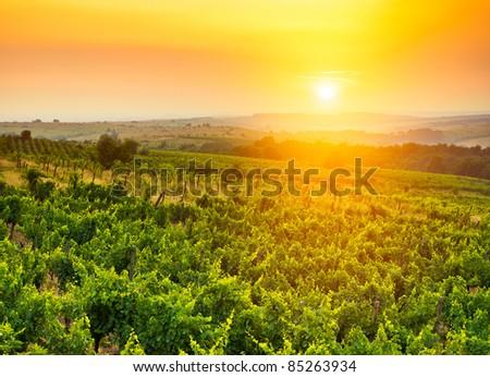 beautiful vineyard landscape in sun light - stock photo