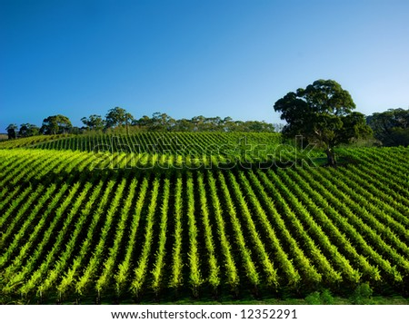 Beautiful Vineyard Landscape with large gum tree - stock photo