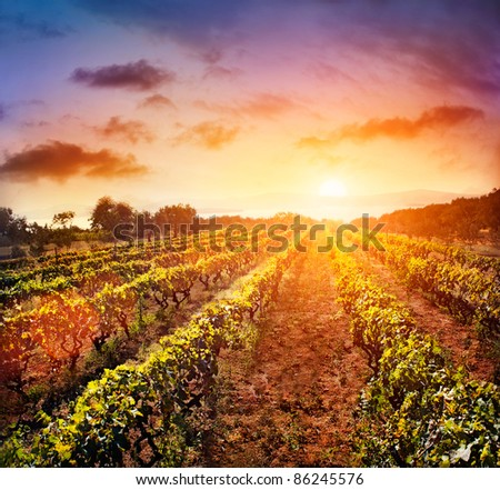 Beautiful vineyard landscape with rows of vines and sea with sunset in the background - stock photo